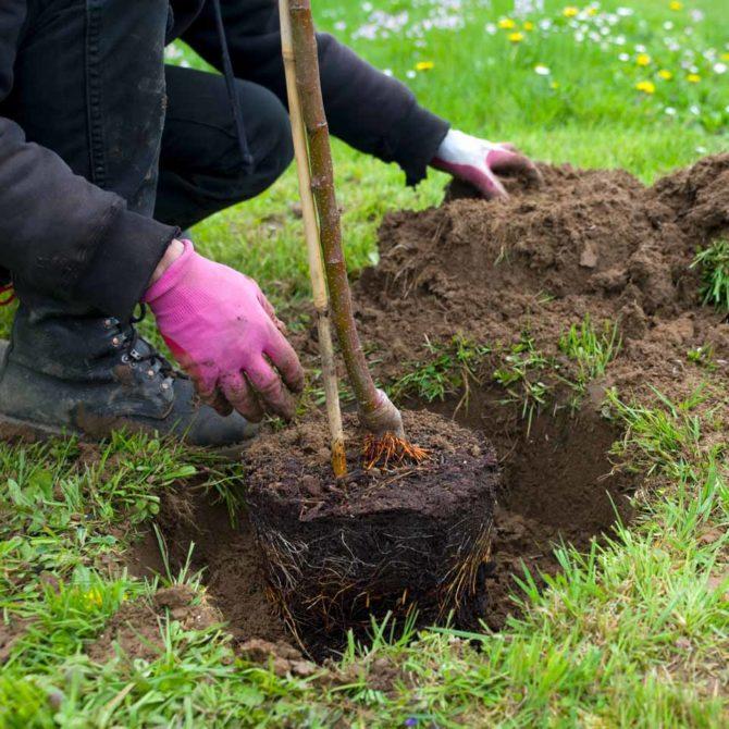 Pflanzung » Baumservice Schwielowsee
